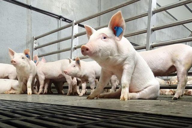 «Свинокомплекс в селі Насташино – чиряк в нашій області» – Денис Шмигаль