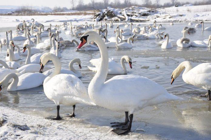 На Прикарпатті зимують лебеді-шипуни: рятувальники просять не шкодити їм