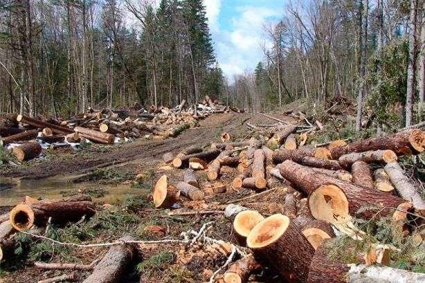 """Атака на карпатські ліси: чому депутат від """"Слуги народу"""" допомагає чорним лісорубам?"""