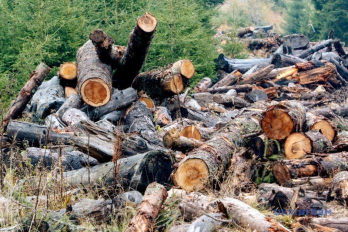 Заборона вирубки: чому закон не зможе захистити карпатські ліси