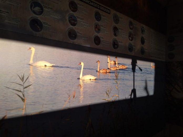 Прикарпатські орнітологи зможуть спостерігати за птахами на Бурштинському водосховищі у прямому ефірі