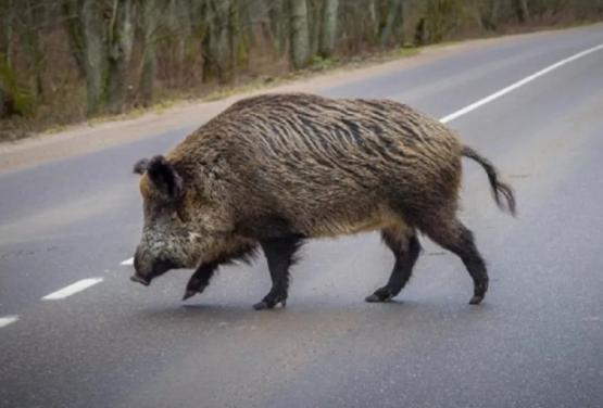 """В центрі Косова влаштували """"сафарі"""" на дикого кабана, який випадково забіг у місто: відео"""