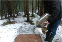 Прикарпатські лісівники снігують лісове насіння