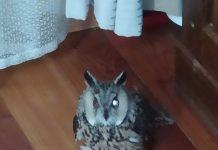 Про сову, яка потрапила під автомобіль у Калуші, піклуються в Галицькому природному парку