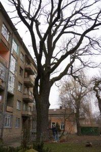 Де в Івано-Франківську дерева, що охороняються законом?