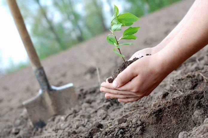 У Болехівському лісгоспі розпочали висадку молодого лісу