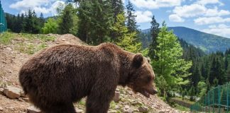 Як під час карантину живуть в реабілітаційному центрі карпатські ведмеді