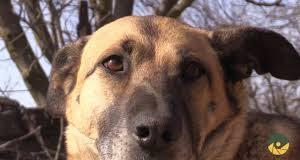 """Як собака Настя несе службу після поранення в прикарпатській """"десятці"""""""