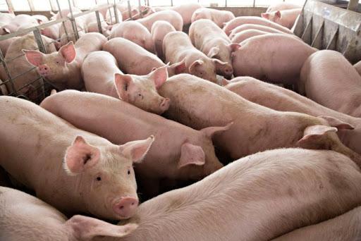 В Івано-Франківській області планують збудувати ще один біогазовий завод на відходах свиноферм