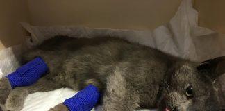 Жертва людської байдужості. Волонтери збирають кошти на лікування кота, якого збило авто: фото