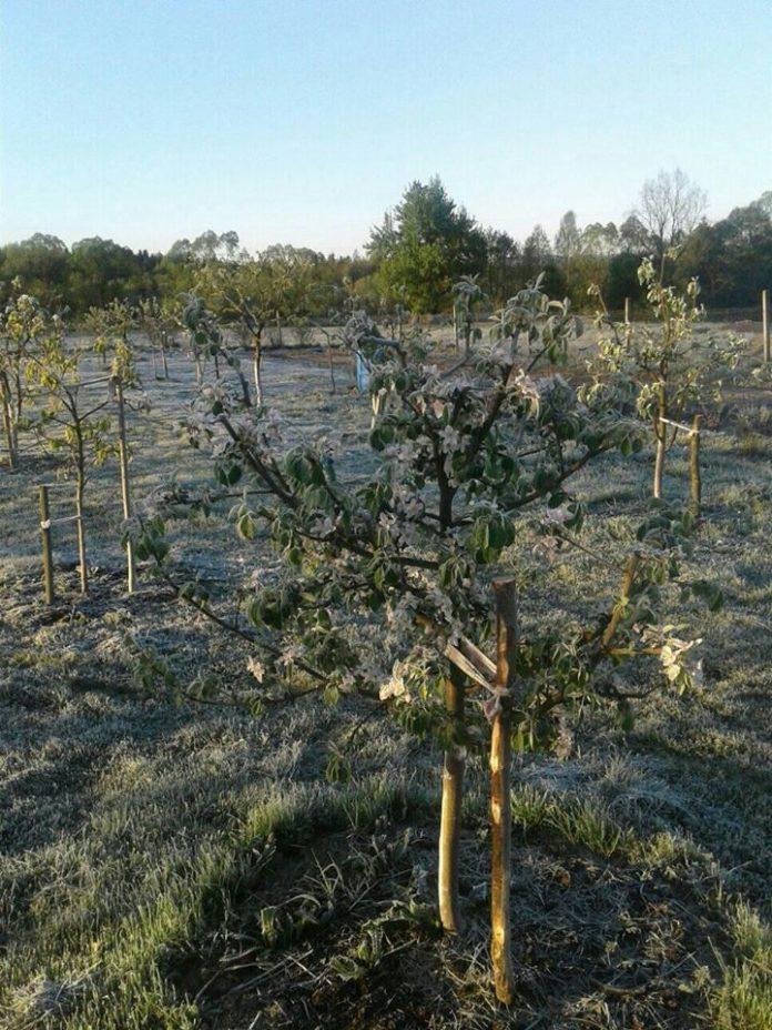 Сильні заморозки цієї ночі пошкодили сади та городину мешканців Франківщини