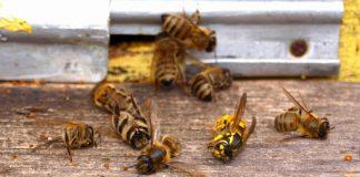 На Франківщині вже зафіксували два випадки отруєння бджіл
