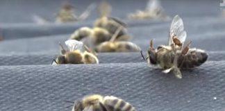 У Тлумацькому районі почали масово гинути бджоли