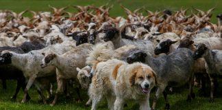 Прикарпатські лісники намагаються відновити вівчарство у високогір'ї Карпат