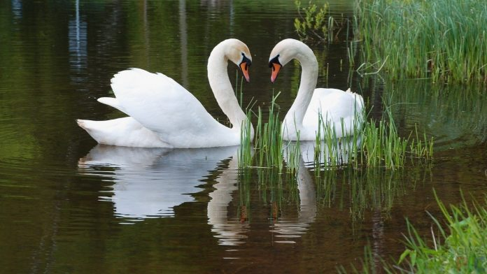Хто на озері господар або Чому у Франківську не народжуються лебеді