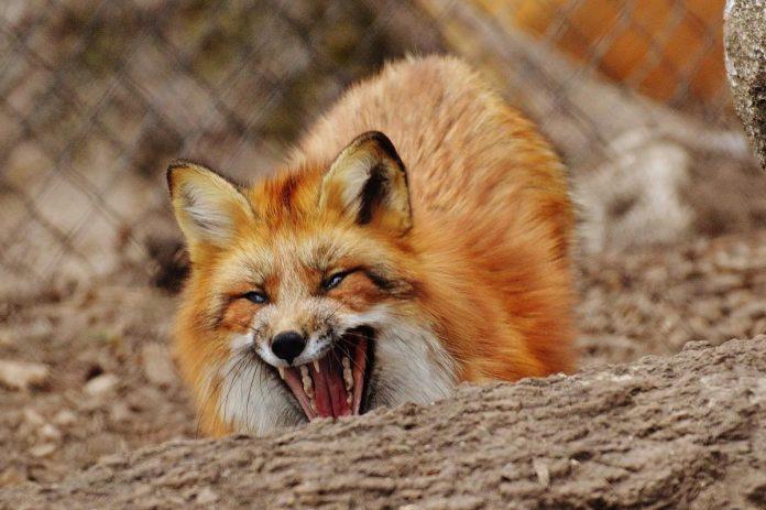 У дворі на Богородчанщині знайшли лисицю, яка померла від сказу