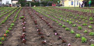 Сотні дерев та дві тисячі кущів квітів планують висадити цьогоріч у Коломиї: відео