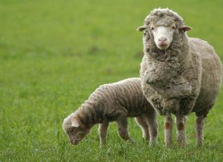 Як на Долинщині відроджують вівчарство: відео