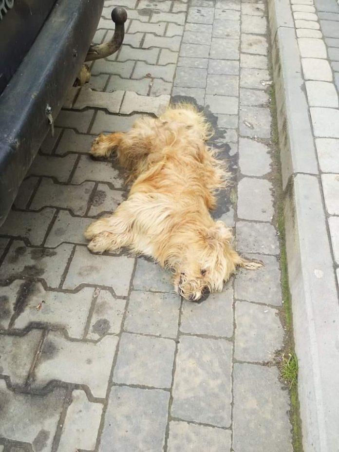 На Прикарпатті знову труять безпритульних собак