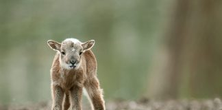 В Центрі реабілітації тварин Галицького природного парку народився маленький муфлон