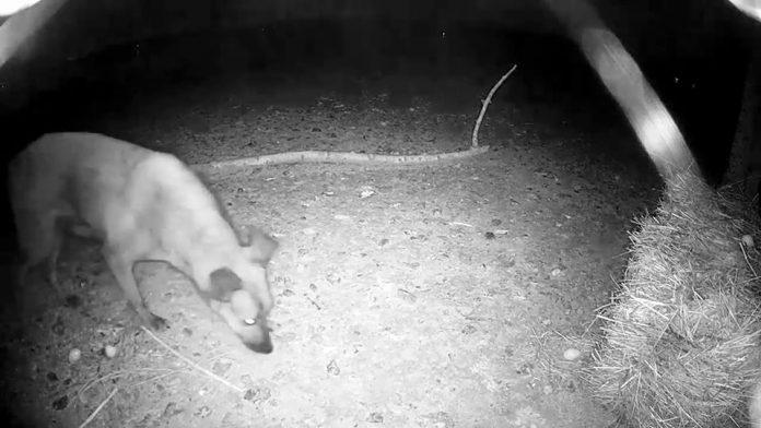 Безпритульний собака знищив кладки яєць рідкісних птахів з Бурштинського півострова: відео