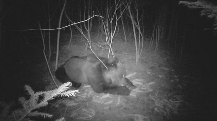 В Карпатах лісники упіймали на фотопастку ведмедя, який прийшов підживитися до годівнички