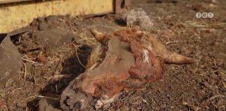 Бурштинського фермера звинувачують в знущанні над тваринами