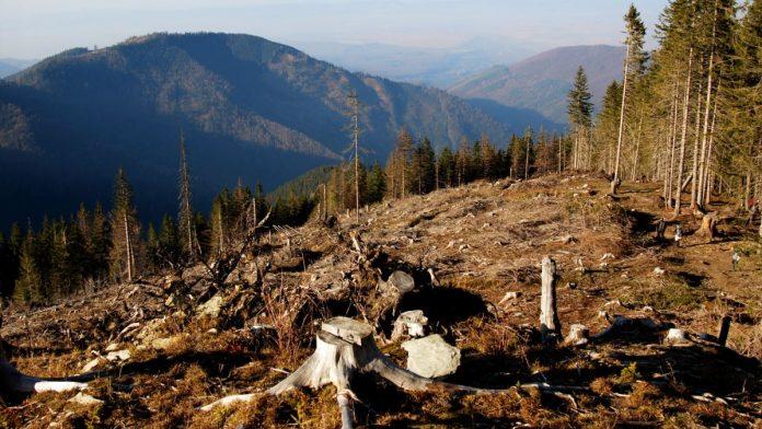 Цьогоріч поліція зафіксувала 55 фактів незаконної вирубки прикарпатського лісу