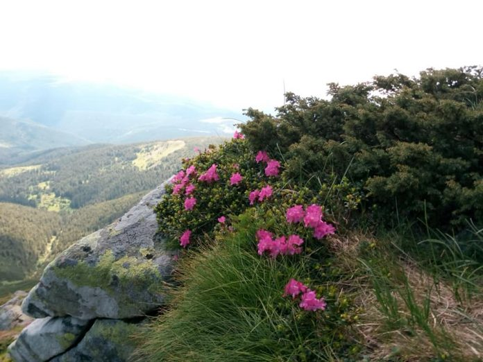 Прикарпатський гірський рятувальник показав як виглядає розквітла Чорногора