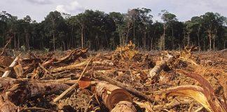 На Прикарпатті депутат сільради з спільниками вирубали дерев на понад мільйон гривень