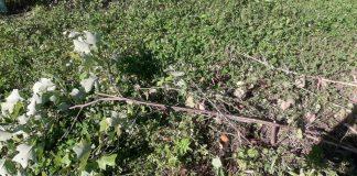 У міському парку Городенки вандали понищили рідкісні тюльпанові дерева ФОТОФАКТ