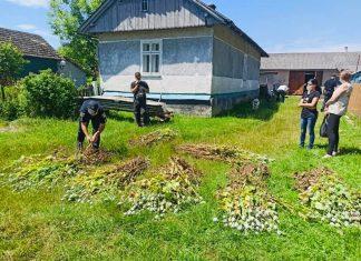 Поліціянти вилучили у прикарпатців майже 6 тисяч рослин снодійного маку ФОТОФАКТ