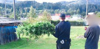 Поліція викрила прикарпатця, який вирощував біля дому коноплю ФОТО