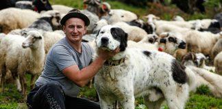 Карпатські вівчарі тримають собак, схожих на овець