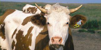 В Рогатинському районі серйозно захворіла велика рогата худоба