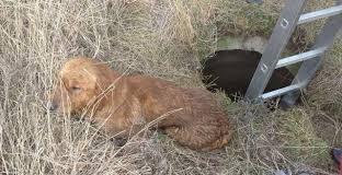 В Івано-Франківську собаки впали у каналізаційний колектор