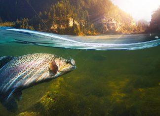 Річку Рибницю у Косові зарибнили фореллю