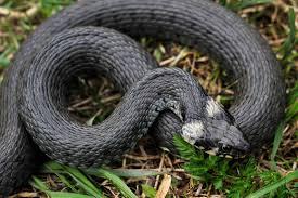 Після червневої повені, на Прикарпатті активізувалися змії