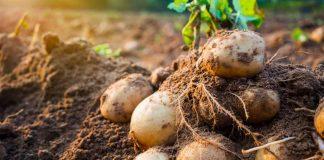 Прикарпатські науковці вивели новий сорт картоплі - «Спас»