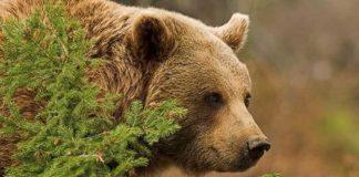 Ведмідь потоваришував із карпатським пасічником