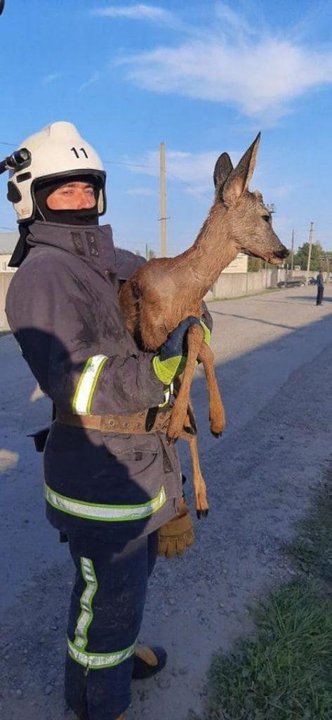 Прикарпатські надзвичайники провели спецоперацію порятунку козулі з ями ФОТО