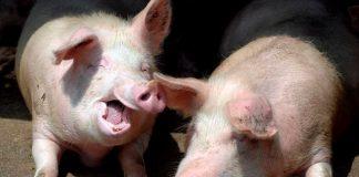 Сьогодні під час масштабної пожежі на прикарпатській свинофермі загинуло близько тисячі свиней