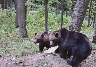 """""""Раніше жив у клітці, а сьогодні звикає до життя у дикій природі"""",- історія прикарпатського ведмедя Яника"""