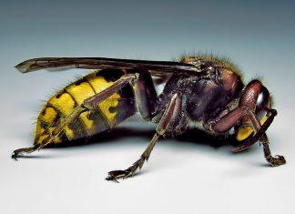 Прикарпатці потерпають від сусідства з агресивними комахами