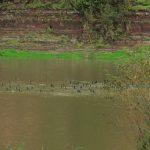 На Прикарпатті помітили сотню бакланів, які вирішили поживитись рибою ФОТО та ВІДЕО