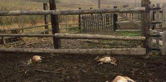На околиці Івано-Франківська мисливські собаки невідомих власників подушили п'ятьох молодих муфлонів на приватній фермі ФОТО та ВІДЕО 16+