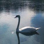 Калушан запрошують у міський парк помилуватися родиною лебедів ФОТО