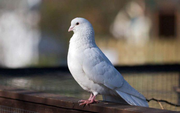 Виставка-ярмарок голубів відбудеться на Коломийщині