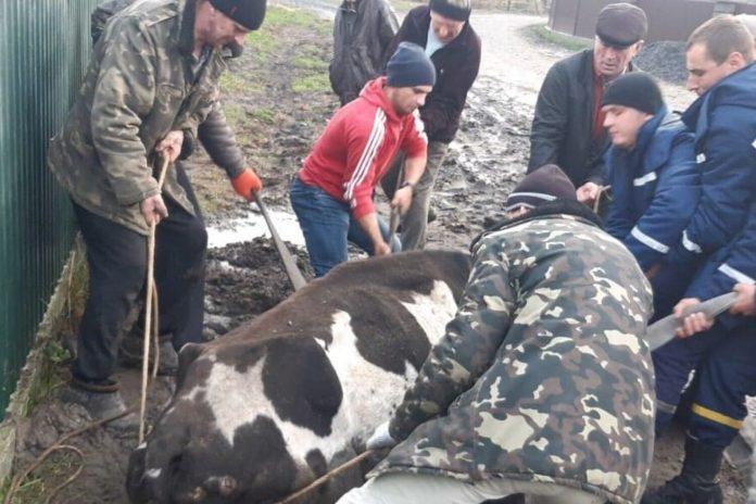 Прикарпатські рятувальники дістали корову з каналізаційної ями