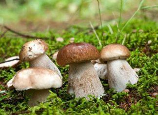 Сезон тихого полювання в розпалі: прикарпатці хизуються неймовірним урожаєм грибів ВІДЕО